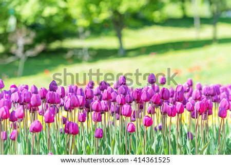 Field of many lilac tulips in the green park