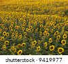 Field of many sunflowers. - stock photo