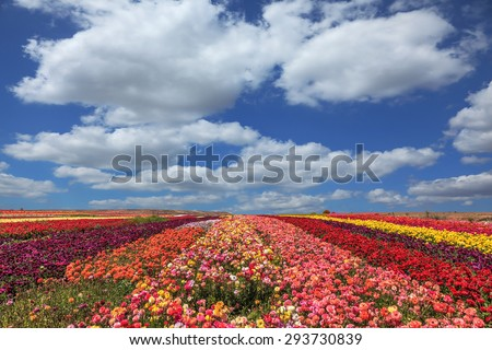 Field of multi-colored decorative flowers buttercups Ranunculus.  Flowers planted with broad bands of colors - red  and yellow - stock photo