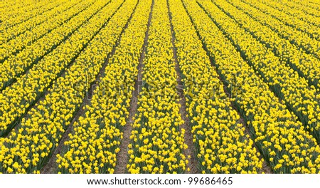field of narcissus - stock photo
