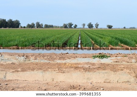 Field of onions being irrigated in the Imperial Valley of California. - stock photo