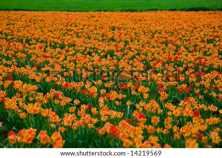 Field of orange tulips and green grass behind