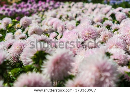 Field of pink asters - stock photo