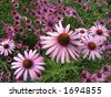 Field of pink Echinacea flowers. Echinacea is considered to be a natural flu, cold and sore throat remedy. - stock photo