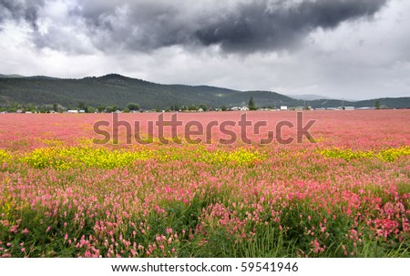 Field of pink flowers in Montana on a dark cloudy day - stock photo