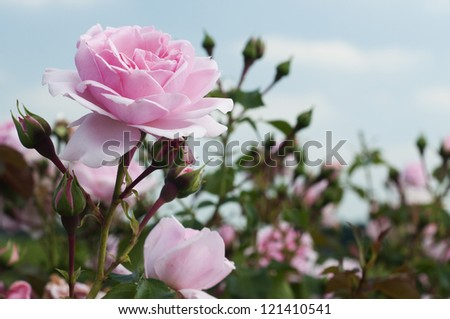 field of pink roses (Rosaceae) with blue sky - stock photo