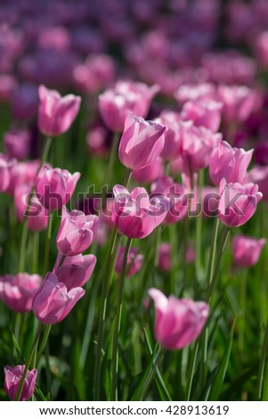 Field of pink tulips in spring on a sunny day. Selective focus, blurred background