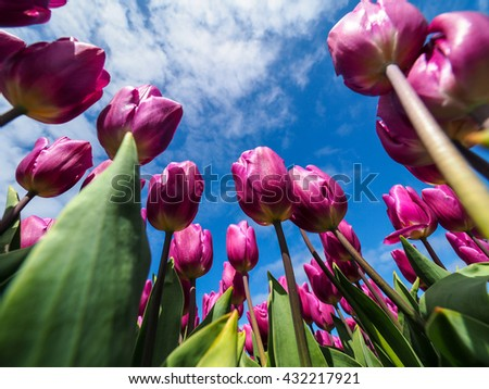 Field of pink tulips, Netherland - stock photo