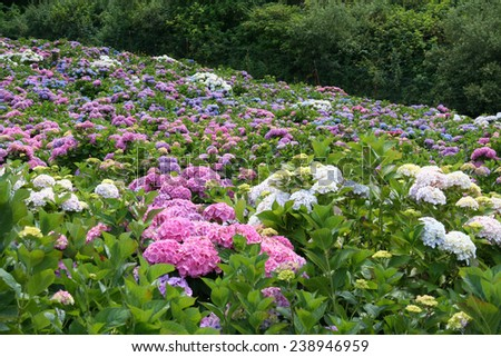 Field of pink, white, purple and variegated hydrangeas on a farm, Half Moon Bay CA. - stock photo