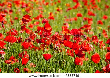 Field of poppies and wheat summer flowers Italy - stock photo