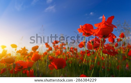 Field of poppies at sunrise - stock photo