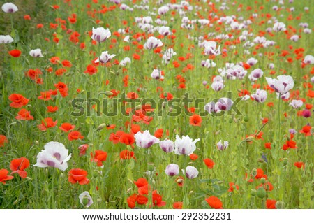 field of poppies in spring - stock photo