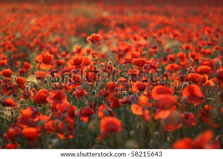 Field of poppies on a sunset - stock photo