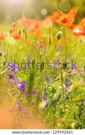 Field of poppies with sunbeams at background