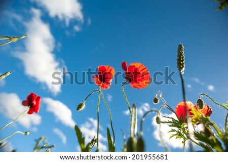 Field of Poppy Flowers in Summer, wide angle picture