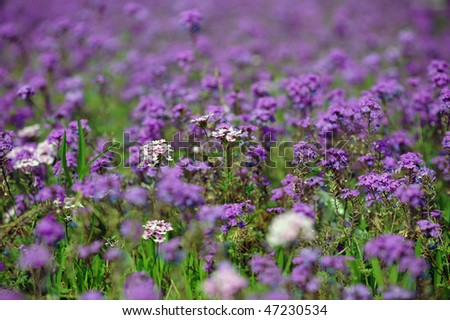 field of purple flowers , in soft focus to give the picture a more romantic feel.
