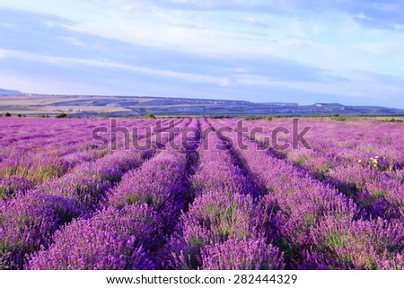 Field of purple lavender flowers. Nature background - stock photo