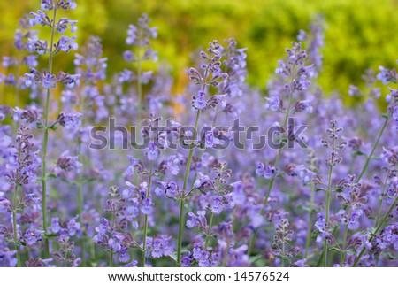 Field of Purple Wildflowers, Maryland - stock photo