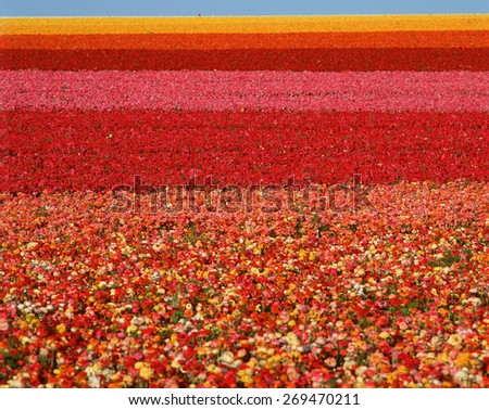 Field of Ranunculus flowers at Carlsbad Ranch in San Diego, California - stock photo