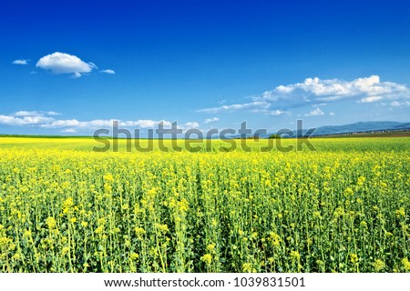 stock-photo-field-of-rapeseed-blossoming