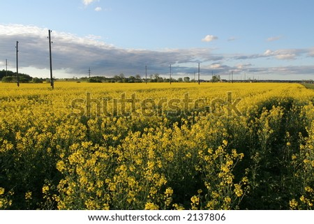 Field of rapeseed flowers at sunset