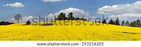 field of rapeseed plant for green energy  - panoramic view - stock photo