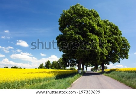 field of rapeseed with road and alley of lime tree - stock photo