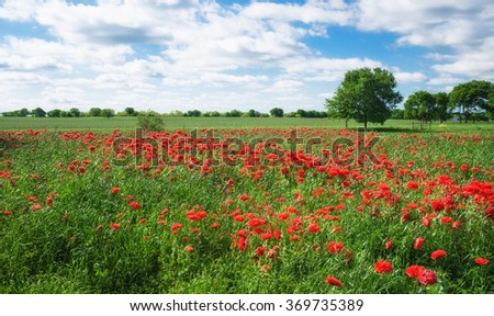 Field of red carnation poppies (French Flounce or Peony Poppy) blooming in Texas spring  - stock photo