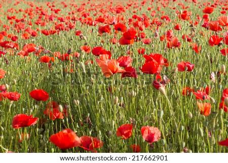 Field of red corn poppy - stock photo