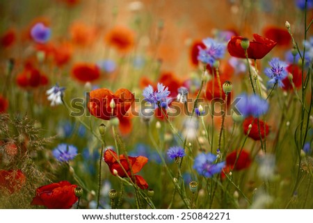 Field of Red Corn Poppy and Blue Cornflower in Summer - stock photo