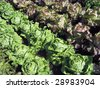 Field of Red Leaf and Green Leaf lettuce crops growing in rows on a farm - stock photo