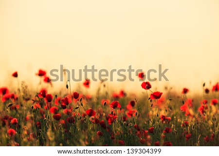 Field of red poppies in bright evening light - stock photo