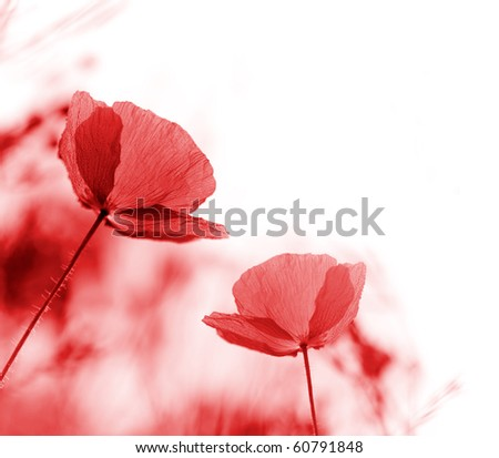 Field of red poppies, very shallow focus - stock photo