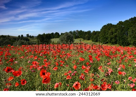 field of red poppy flowers - stock photo