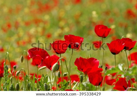 Field of red poppy flowers. Springtime nature background. - stock photo