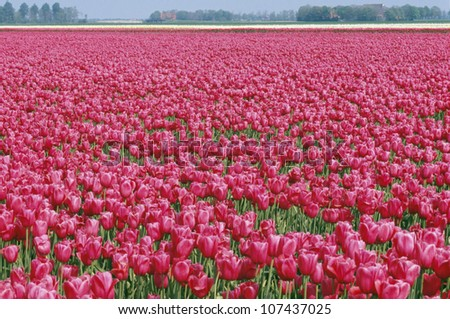 Field of red roses - stock photo