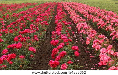 Field of red rouses - stock photo