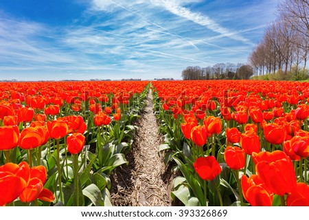 Field of red tulips flowers with blue sky in the netherlands