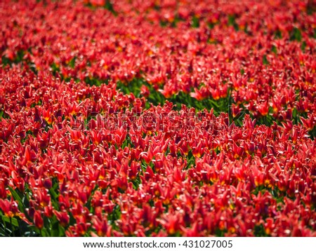 Field of red tulips in the Netherlands