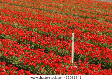 Field of red tulips with sprinkler
