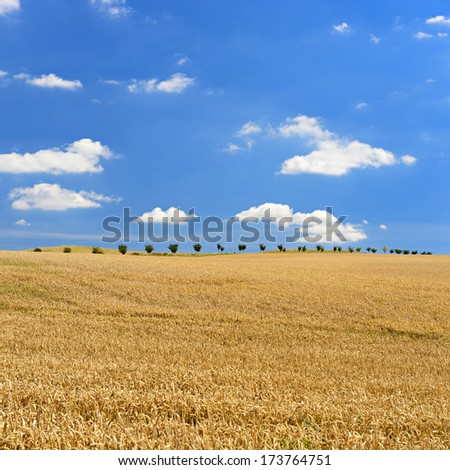 Field of Ripe Barley Crop under Blue Sky with Clouds