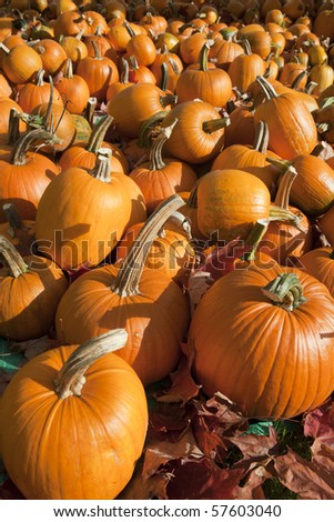 Field of ripe pumpkins amidst fallen leaves on a sunny day. Horizontal shot. - stock photo