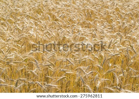 Field of ripe rye in Poland. - stock photo