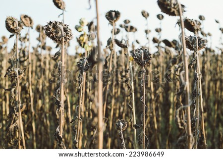 Field of ripe sunflower dry autumn - stock photo