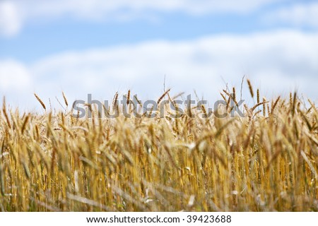 Field of ripe wheat against blue sky - landscape exterior