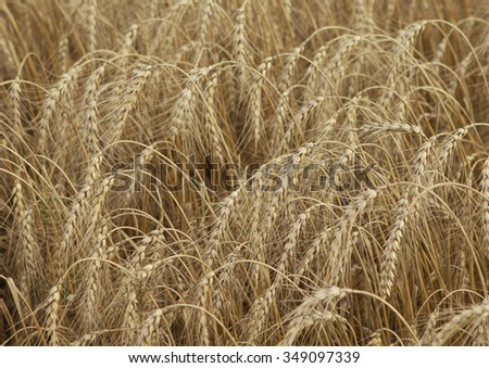Field of ripe wheat ears before harvesting.Overcast - stock photo