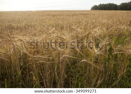 Field of ripe wheat ears before harvesting.Overcast - stock photo