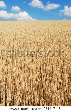 Field of ripe wheat gold color - stock photo