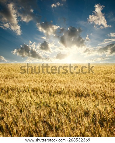 Field of ripe wheat on a background sunrise on blue sky with clouds - stock photo