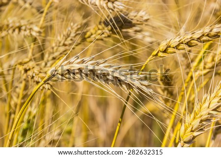 Field of ripe wheat, stems and ears closeup